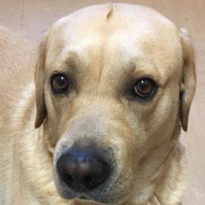 Close up of golden labrador